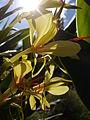 Hedychium gardnerianum 2.jpg