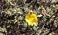 Helianthemum glomeratum.jpg