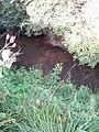 Helianthus tuberosus L. (AM AK295329-3).jpg