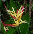Heliconia psittacorum – Parakeet Heliconia? (6840883759).jpg