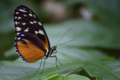 Heliconius hecale.png