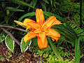 Hemericallis fulva Flore Pleno29278394.jpg