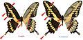 Heraclides rumiko vs Heraclides cresphontes (36235).jpg