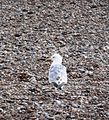 Herring Gull 015.JPG