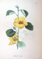 Hibiscus hamabo SZ93.png