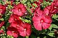 Hibiscus moscheutos rouge.JPG