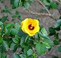 Hibiscus scotii.jpg