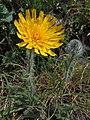 Hieracium villosum (35391398834).jpg