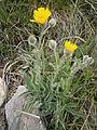 Hieracium villosum 001.JPG
