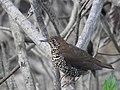 Himalayan forest thrush.jpg