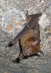 Hipposideridae - Wikipedia