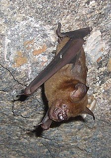 Indian roundleaf bat species of mammal
