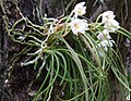 Holcogossum nujiangense plant.jpg