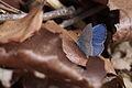Holly Blue (Celastrina argiolus) (16880877381).jpg