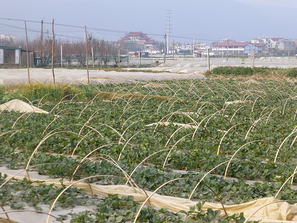 Hongta District - Beicheng - strawberry fields - P1350766