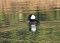 Hooded Merganser (38791496801).jpg