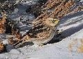 Horned Lark eating Wyoming Big Sagebrush Seeds (16450422707).jpg