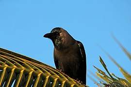 House crow (Corvus splendens) from Villupuram dt IMG 3907 .jpg
