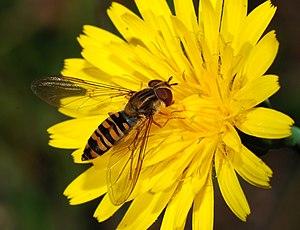 Hoverfly (Episyrphus balteatus) collecting nec...