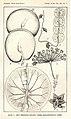 Hoya imbricata01.jpg