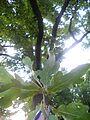 Hrast lužnjak Kalemegdan 022.JPG