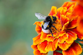 Humblebee.sitting.on.a.flower.jpg