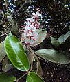 Humboldtia brunonis Wall. 10.JPG