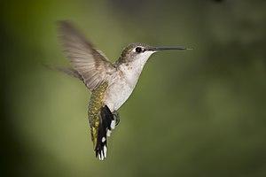 English: Humming Bird - Texas