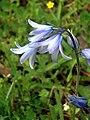 Hyacinthoides nonscripta FlowerCloseup SierraMadrona.jpg