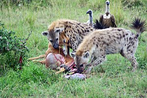 Fauna of Africa - Spotted hyenas at the carcass of an impala that they had stolen from a cheetah at Masai Mara National Park, Kenya