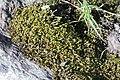 Hygrohypnum duriusculum (c, 140324-471644) 3908.JPG