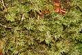 Hylocomium splendens (a, 144626-474739) 3901.jpg