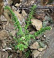 Hyoscyamus niger (henbane) (White Cap Mine, east of Keystone, Black Hills, South Dakota, USA) 1 (19192161984).jpg