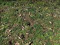 Hypericum perforatum habit7 (14609475856).jpg
