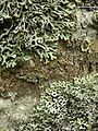 Hypogymnia krogiae and physodes - Flickr - pellaea.jpg