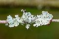 Hypogymnia physodes - Gewöhnliche Blasenflechte - 02.jpg