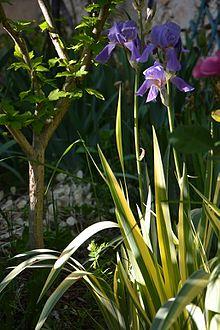 iris pallida — wikipédia
