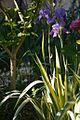 I. palida variegata.jpg