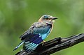 INDIAN ROLLER IN FULL RESPLENDENT COLORS AT TADOBA TIGER RESERVE CHANDRAPUR INDIA.jpg