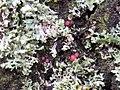 Illosporiopsis christiansenii 106974348.jpg
