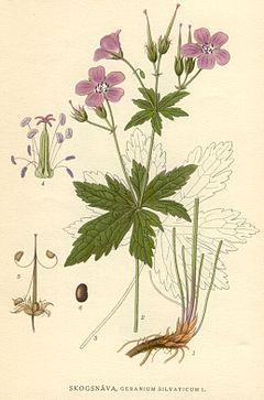 Illustration Geranium silvaticum