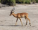 Impala (Aepyceros melampus), parque nacional de Chobe, Botsuana, 2018-07-28, DD 20.jpg