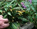 Impatiens omeiana & Corydalis Blackberry Wine.jpg