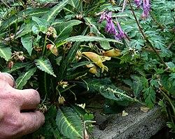 Impatiens omeiana & Corydalis Blackberry Wine.jpg