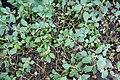 Impatiens purpureo-violacea-Jardin botanique Meise (2).jpg