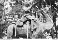 Indian Cameleer on Camel 1915.jpg