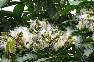 Inga edulis - Image: Inga Flowers