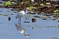 Intermediate Egret with catch (23242027463).jpg