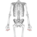 Intermediate phalanges of the hand 01 palmar view.png