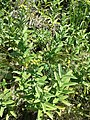 Inula germanica sl3.jpg
